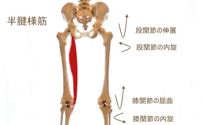 鵞足部と半腱様筋
