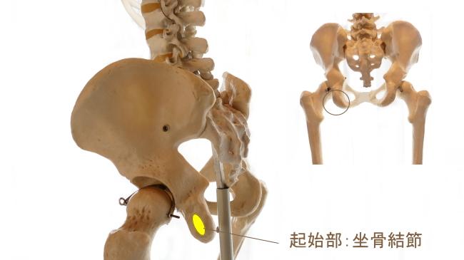 半腱様筋の起始部