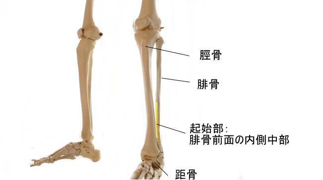 長母趾伸筋の起始部