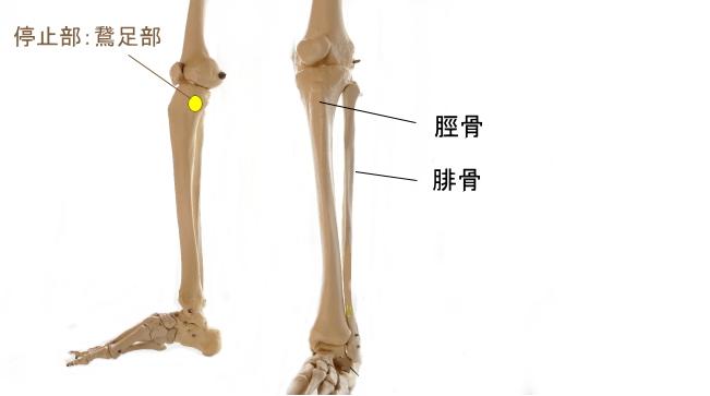 半腱様筋の停止部