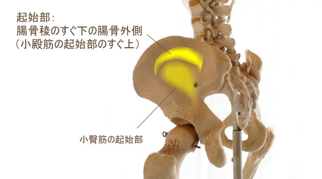 中臀筋の起始部