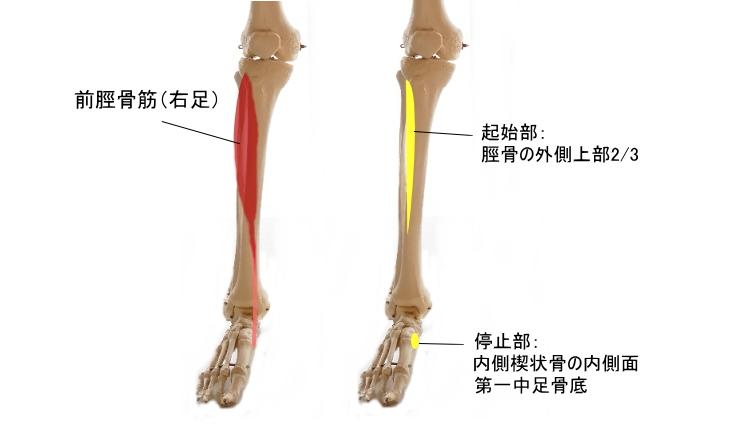 すねの筋肉、前脛骨筋