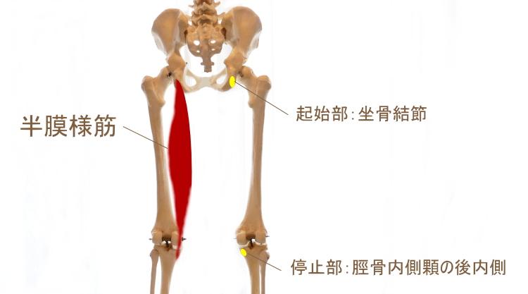 ハムストリングス内側深部の筋肉