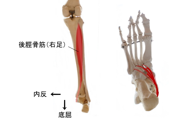 ふくらはぎの深部の筋肉