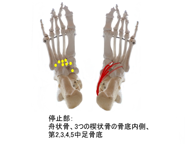 後脛骨筋の停止部