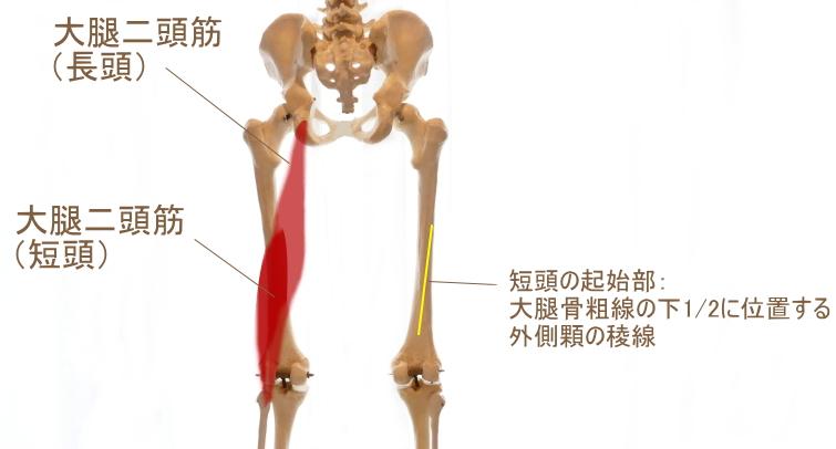 大腿二頭筋(短頭)の起始部