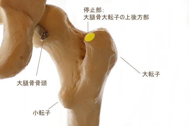 梨状筋の停止部
