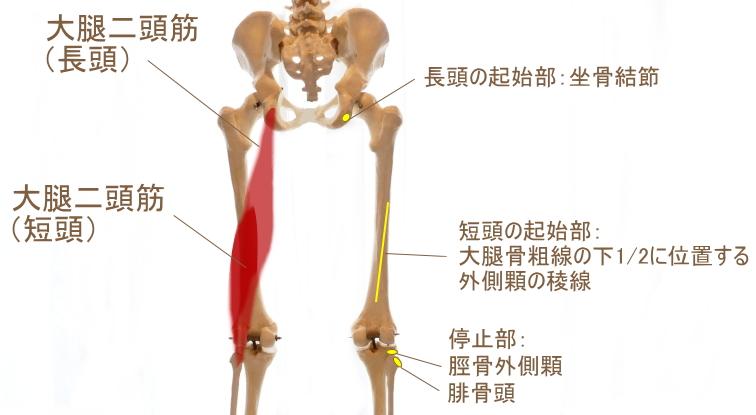 ハムストリングス外側の筋肉
