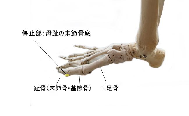 長母趾屈筋の停止部