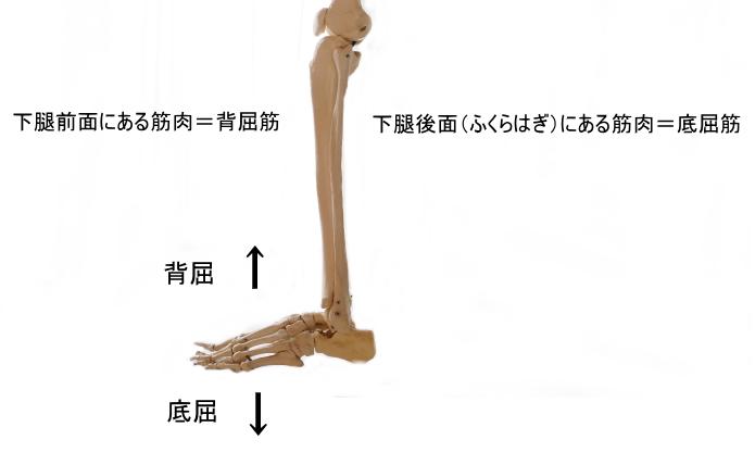 ふくらはぎの筋肉の働き