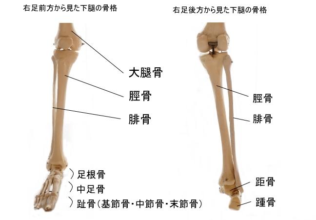下腿の骨格