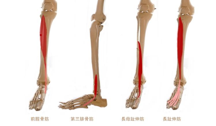 足首を動かす、すねの筋肉
