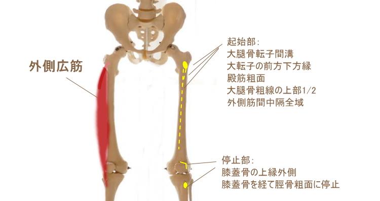 大腿四頭筋の外側