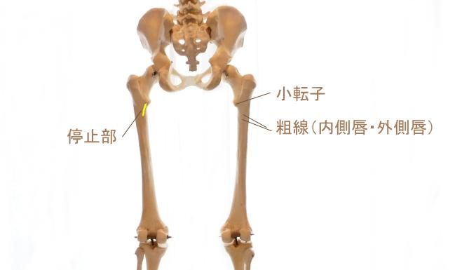 恥骨筋の停止部
