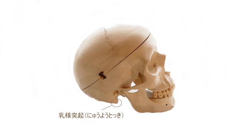 胸鎖乳突筋の停止部