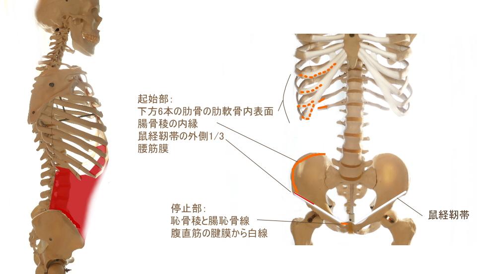 腹筋の深層