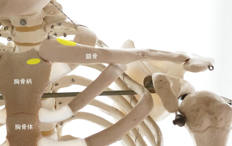胸鎖乳突筋の起始部
