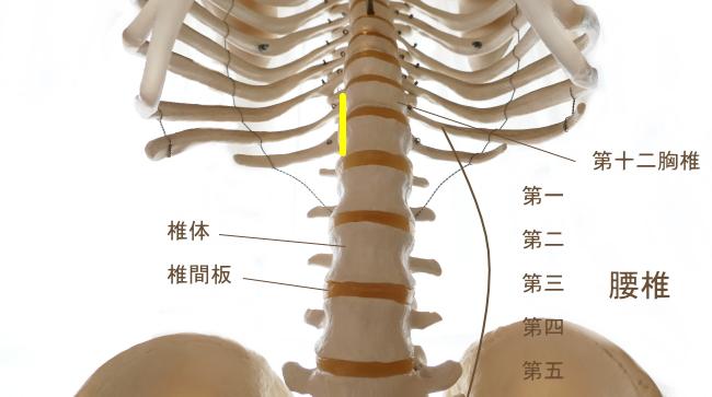 小腰筋の起始部
