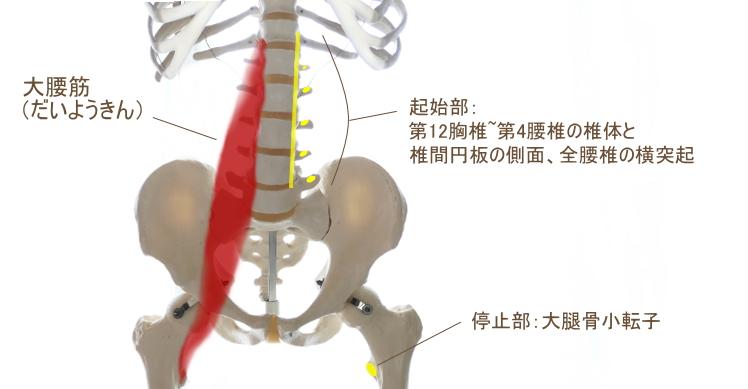 腰椎に起始部を持つ大腰筋