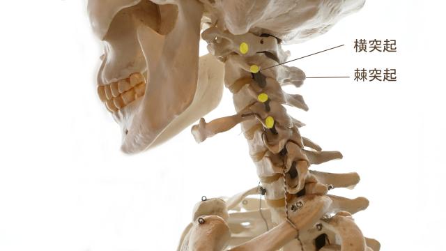 肩甲挙筋の起始部