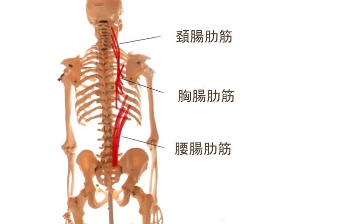 脊柱起立筋と腸肋筋