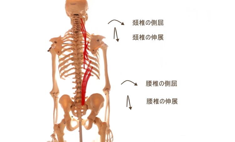腸肋筋の働き