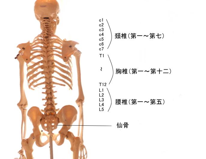 最長筋と骨格
