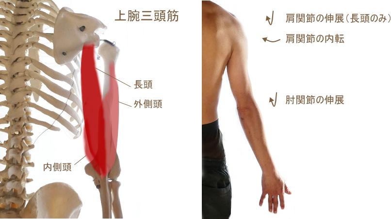 上腕三頭筋の解説
