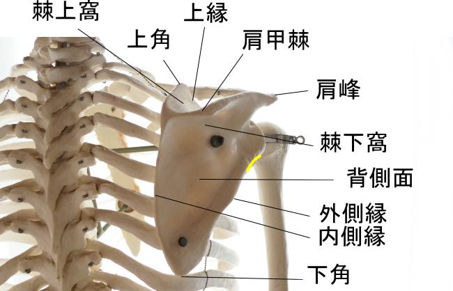 上腕三頭筋(長頭)の起始部
