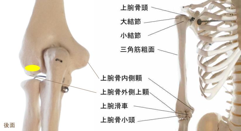 肘筋の起始部