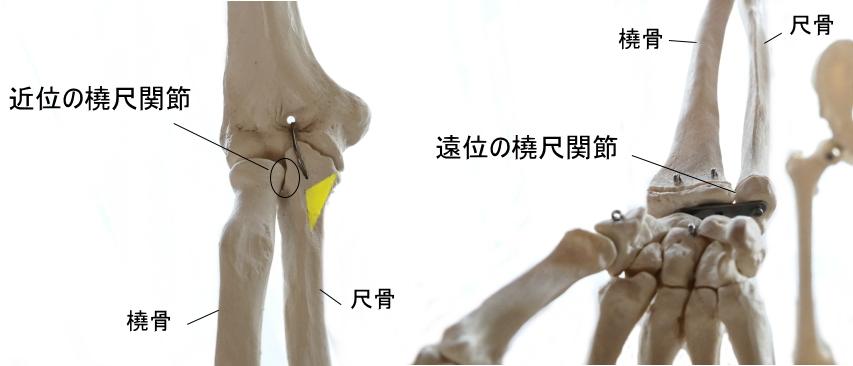 上腕筋の停止部