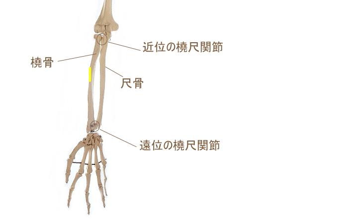 円回内筋の停止部