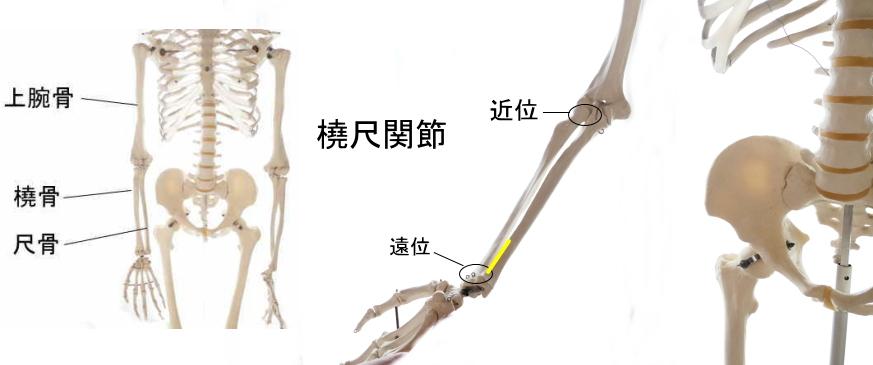方形回内筋の起始部