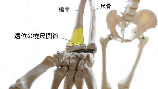方形回内筋の停止部