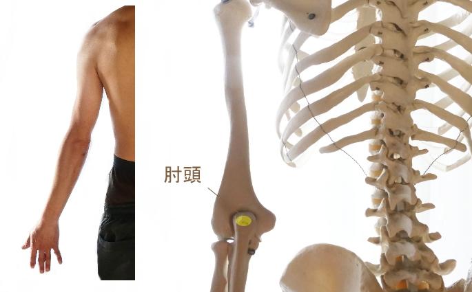 上腕三頭筋の停止部