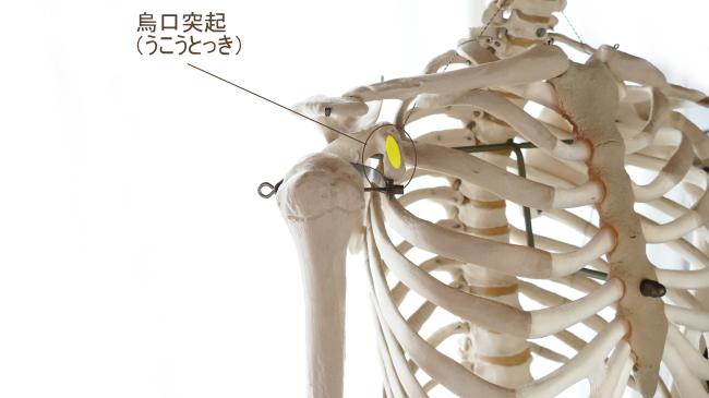 小胸筋の停止部