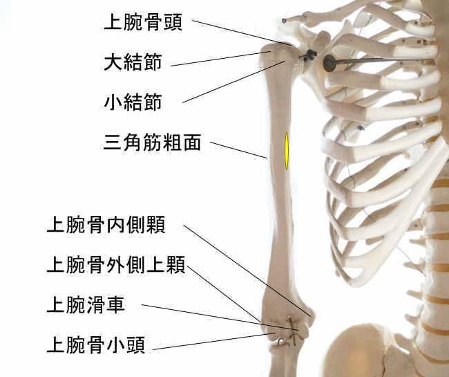 烏口腕筋の停止部