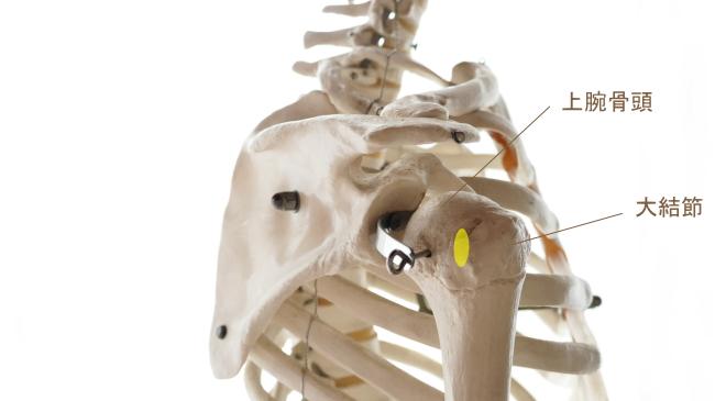 棘下筋の停止部