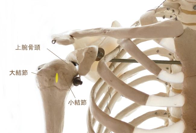 大円筋の停止部