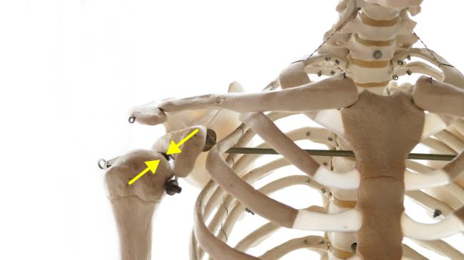 上腕二頭筋と肩関節の安定