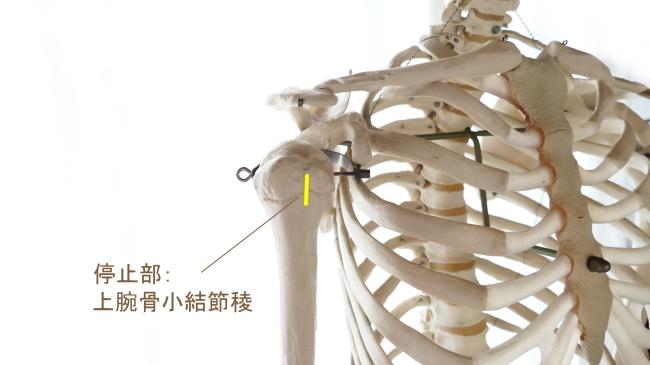 広背筋の停止部