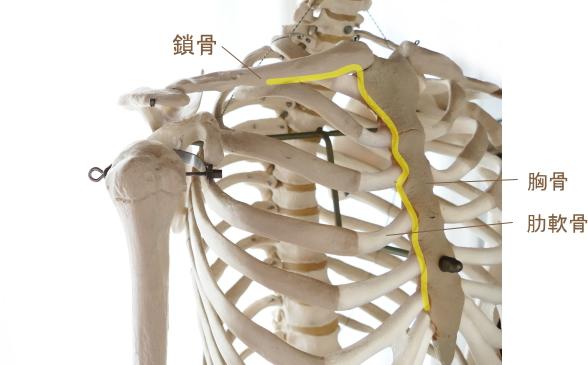 大胸筋の起始部