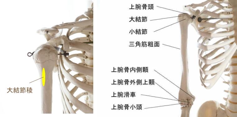 大胸筋の停止部