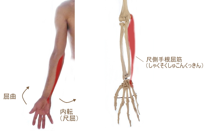 尺側手根屈筋の走行と働き
