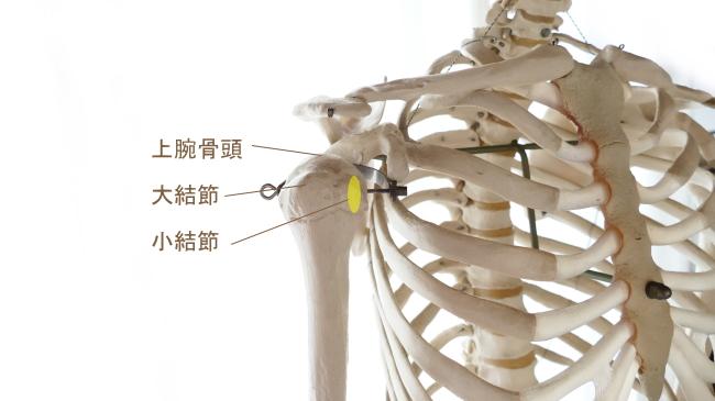 肩甲下筋の停止部