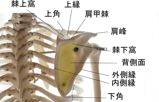 肩甲下筋の起始部
