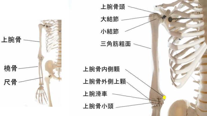 橈側手根屈筋の起始部