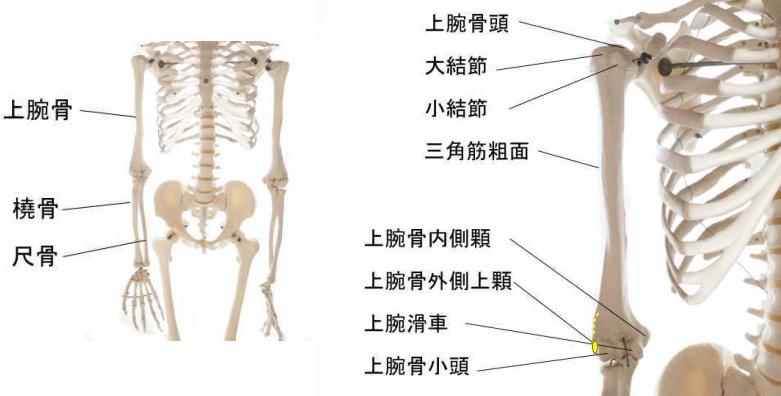 長橈側手根伸筋の起始部