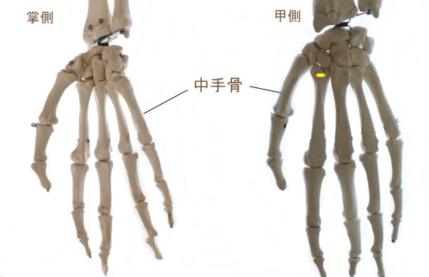 長橈側手根伸筋の停止部