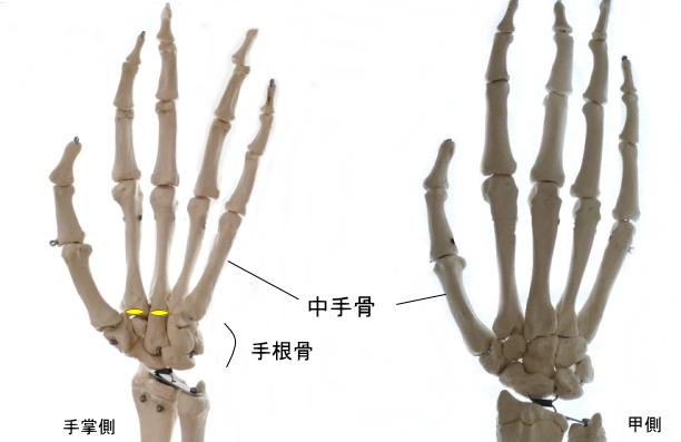 橈側手根屈筋の停止部